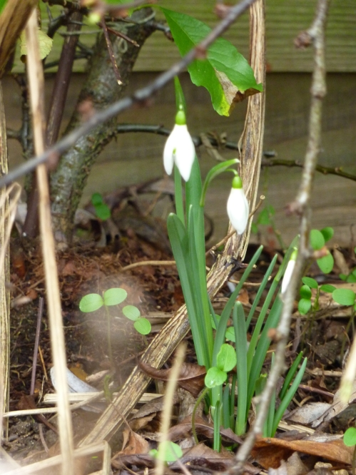 The first snowdrop to flower in the garden