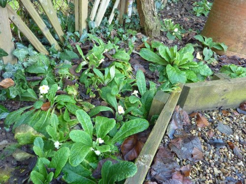 Clumps of primroses in flower