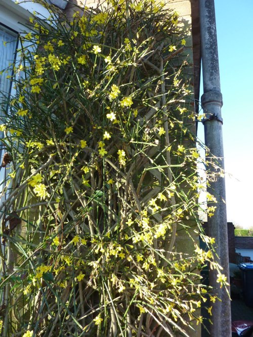 Winter Jasmine(Jasminum nudiflorum) on the front of the house