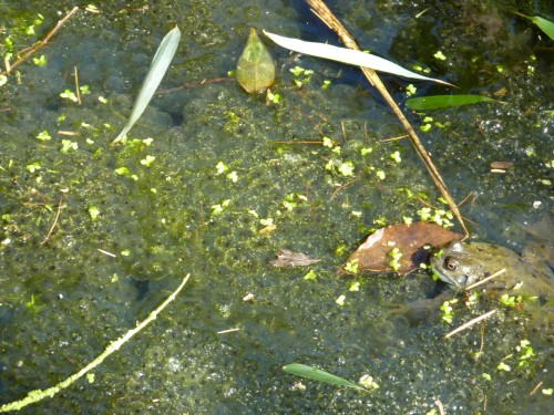 Frogspawn under supervision in the pond