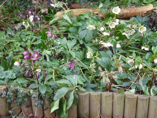 The Hellebore Border