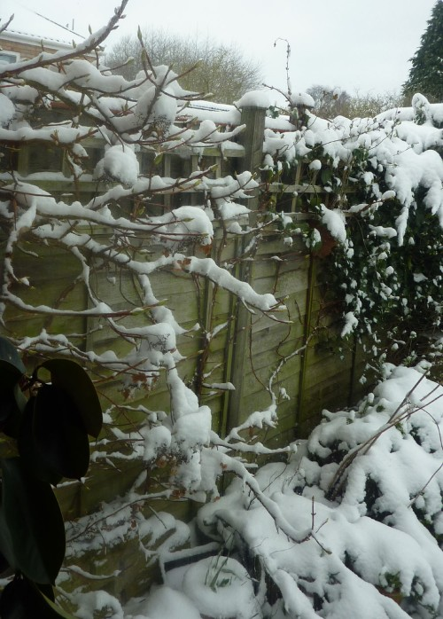 View out the back wndow - hydrangea petiolaris covered in snow.