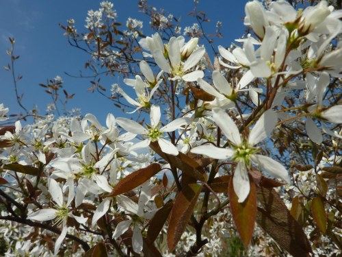 Amelanchier - closeup of flowers - look good with a blue sky!