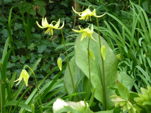 Dogs Tooth Violet (Pagoda)