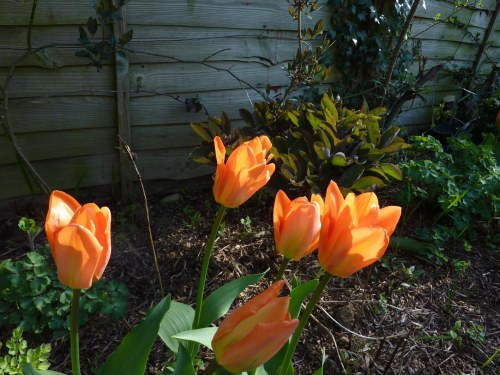 Tulip (Orange Emperor) and Peony (buds but not flowering yet)