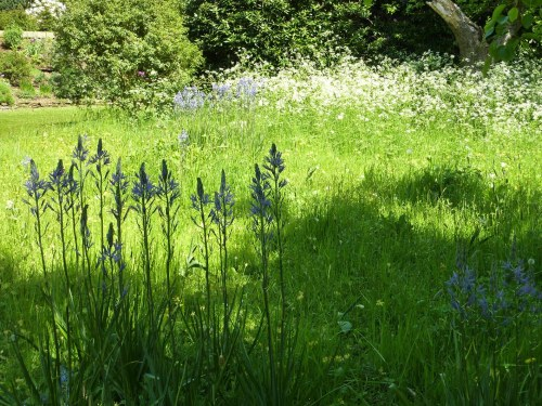 Camassias and Cow Parsley in the Coton Manor Orchard