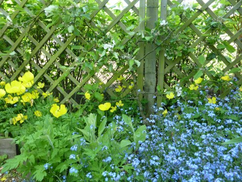 Yellow poppies and forget-me not below the apple blossom