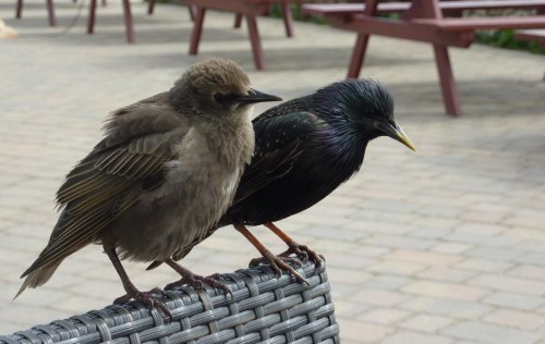 Starling chick and parent - they're after the cake!