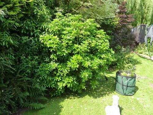 Overgrown Choisya