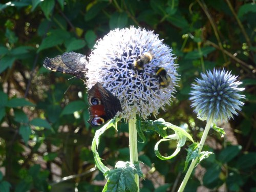 No room left on the Echinops Ritro