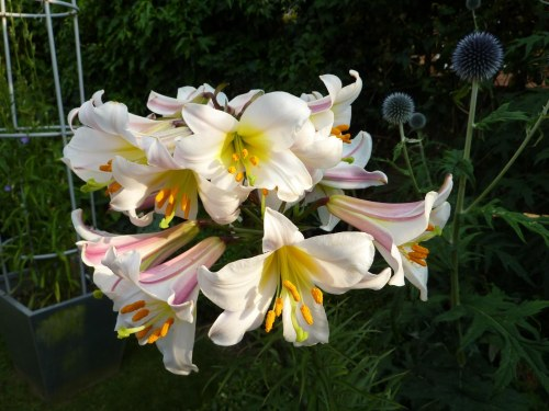 Lily Regale in full flower