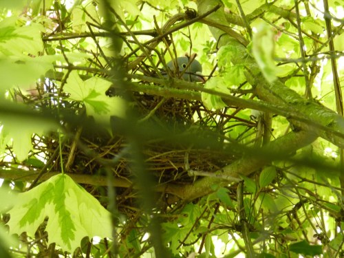 Pigeon on the nest