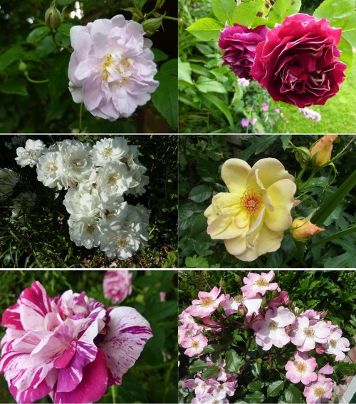 A Selection of roses from around the garden