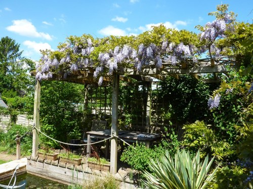 The Wisteria at its peak