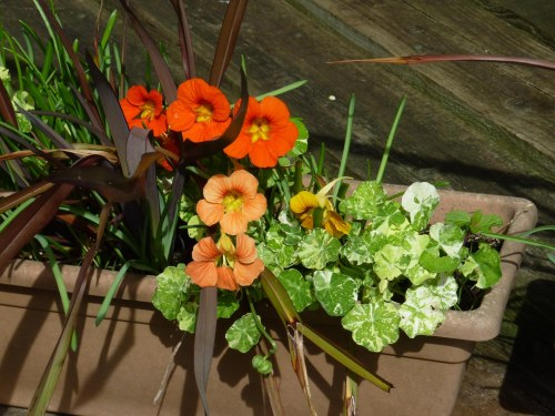 Some of the more successful nasturtiums