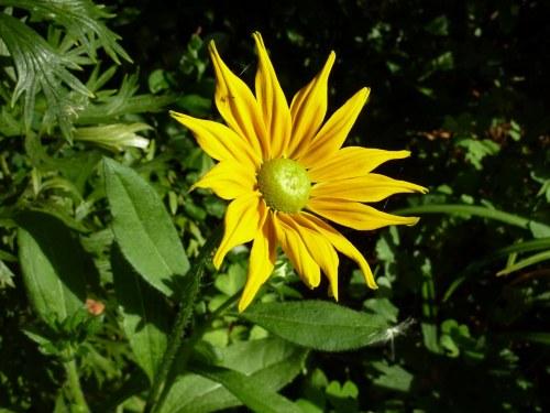 The first flower on Rudbeckia Irish Spring