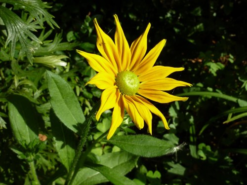 The first flower on Rudbeckia Irish Spring