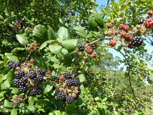 Plenty of blackberries in the hedges.