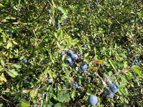Sloes - worth the occational scratch from the thorns.